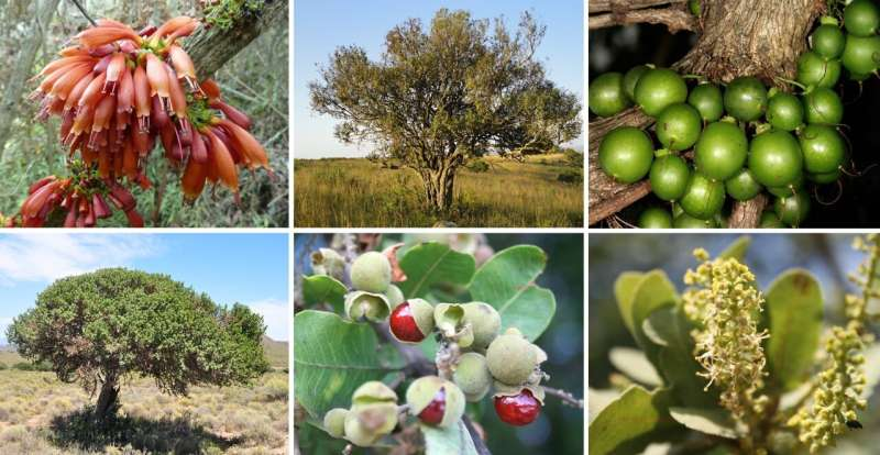 Why wild African fruits can supplement low protein staple foods