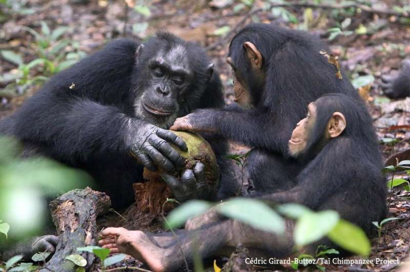 Wild chimpanzee orphans recover from the stress of losing their mother