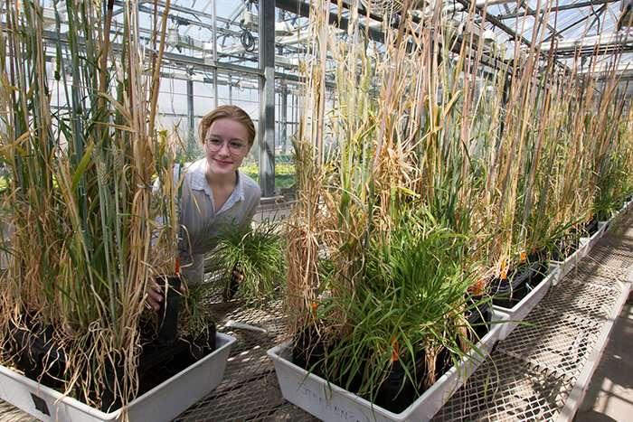 Wild barley from Jordan holds key to stem rust resistance