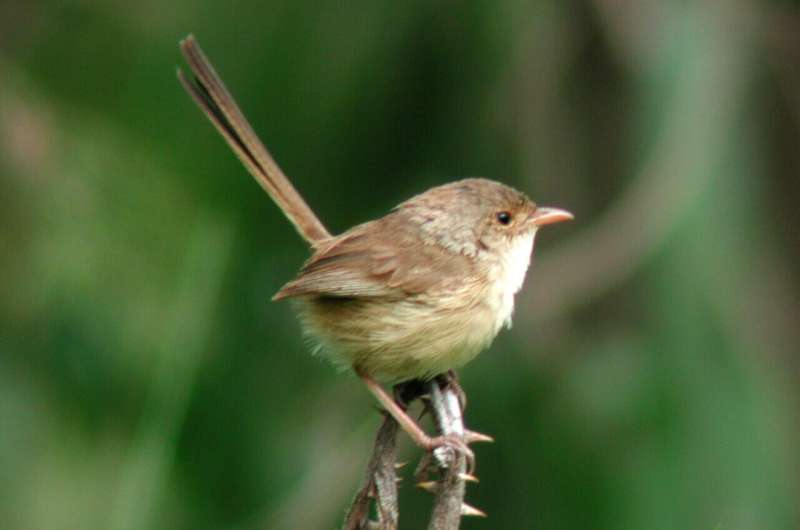 Wildfire changes songbird plumage and testosterone