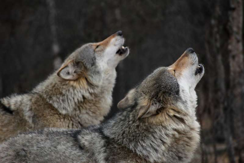 Wolf packs don't actually have alpha males and alpha females, the idea is based on a misunderstanding