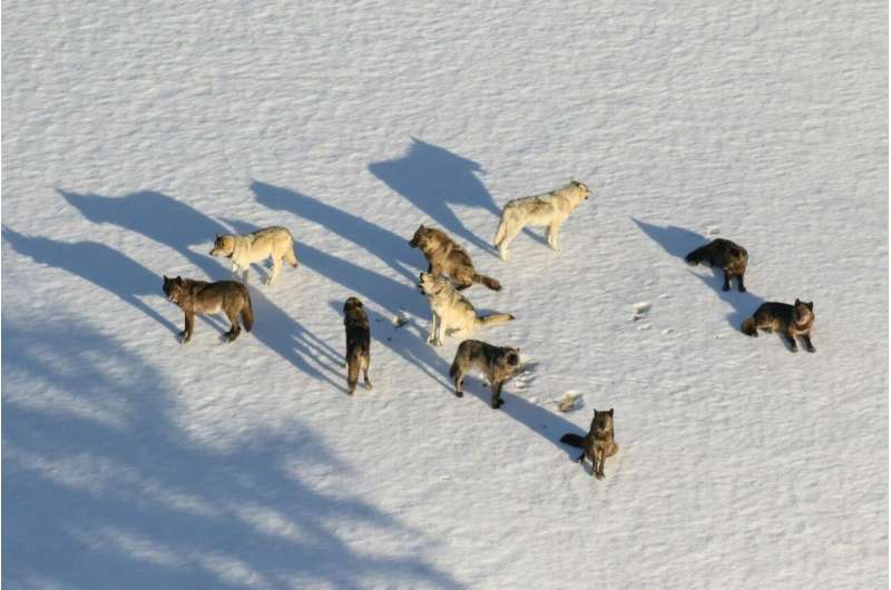 Wolf social group dynamics matter for infectious disease spread, models suggest