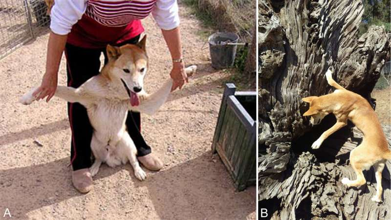 Wolves, dogs and dingoes, oh my