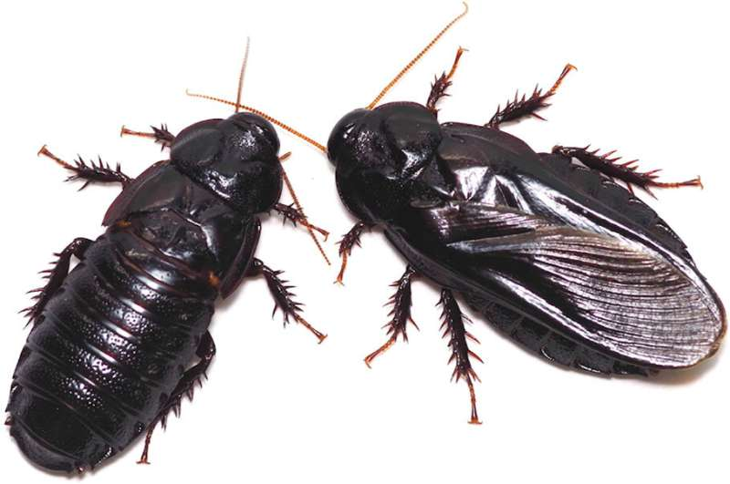 Wood eating cockroach couples found to take turns eating parts of each other's wings after mating