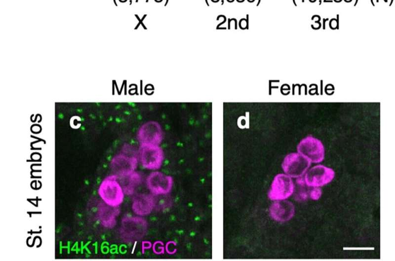 X marks the spot: How genes on the sex chromosomes are controlled