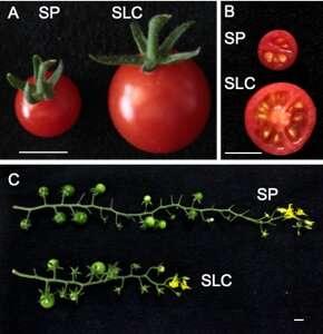 'You say tomato, I say genomics': Genome sequences for two wild tomato ancestors