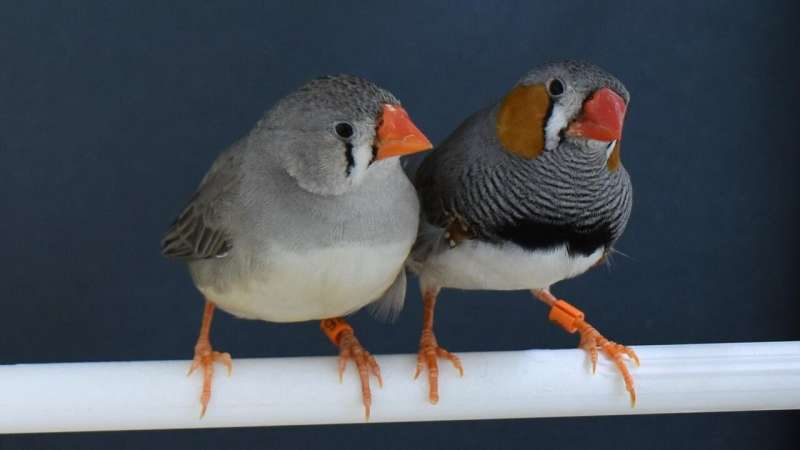 Zebra finches choose nest materials based on past experience, new research shows
