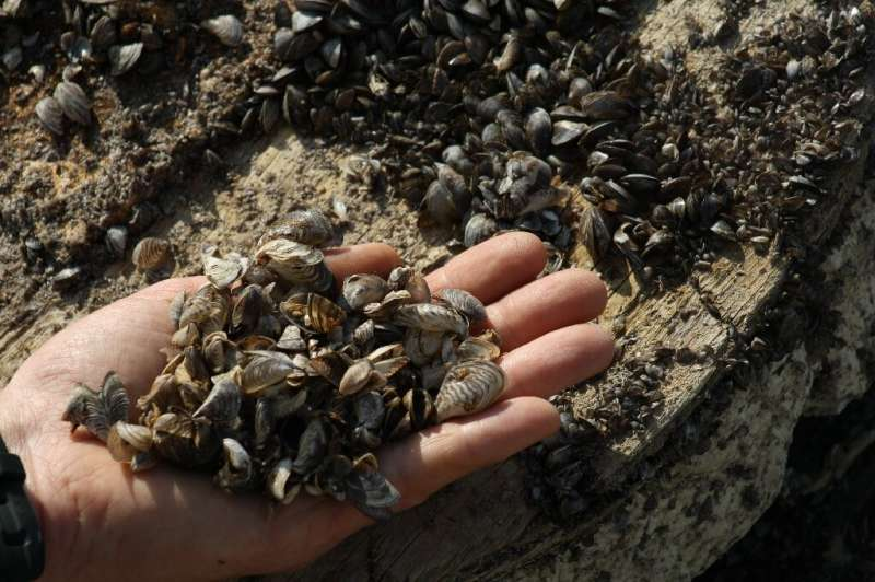 Zebra mussels were introduced into North America by accident
