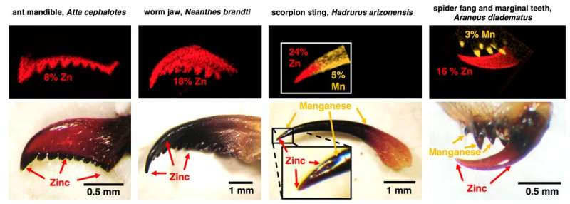 Zinc-infused proteins are the secret that allows scorpions, spiders and ants to puncture tough skin