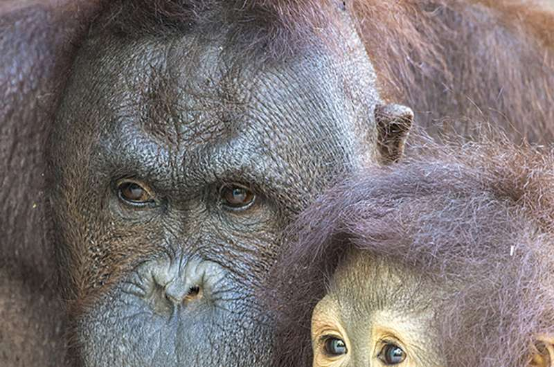 Kebun Binatang Miami: Orangutan mati setelah operasi gigi