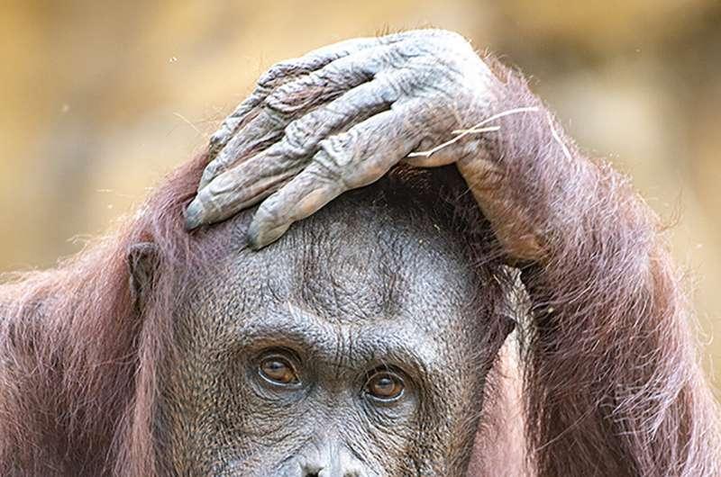 Zoo Miami: Orangutan dies following dental surgery