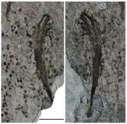 Oldest fossils of large seaweeds, possible animals tell story about oxygen in an ancient ocean