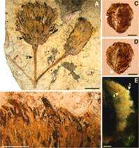 Early sunflower family fossil found in South America
