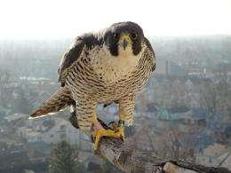 'Falcon-cam' captures life in UB nest