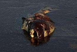 A dead fish coated in heavy oil floats near shore on June 4, near East Grand Terre Island, Louisiana