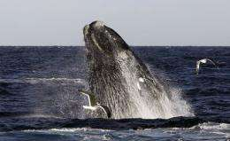 A Franca Austral whale (also known as Southern Right Whale)