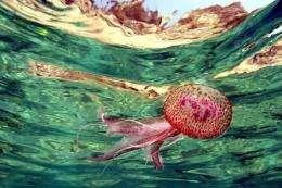 A jellyfish swims in the Mediterranean Sea