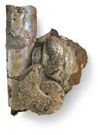 Ammonites dined on plankton