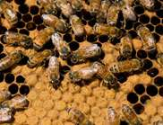 Artificial bee silk a big step closer to reality