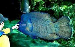A schoolboy reaches out to touch a Humpheaded Maori Wrasse at the Sydney Aquarium, in 2003