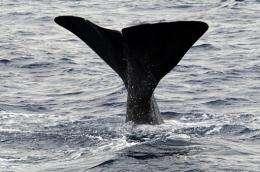 A sperm whale swims in the Mediterranean sea