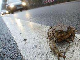 A toad sitting on a road in Germany