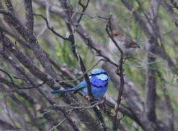 Australian birds attract mates with 'scary movie effect'