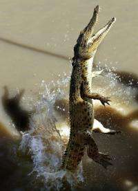 A young saltwater crocodile enticed by meat, jumping completely out of the Adelaide River near Darwin