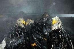 Band confirms dead eagle as 1 of Alaska's oldest (AP)