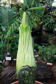 Botanical Garden braces for blooming corpse plant