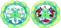 Brainy worms: Evolution of the cerebral cortex