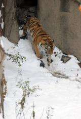 China's State Forestry Administration estimates there are only around 50 tigers left in the nation's wilderness