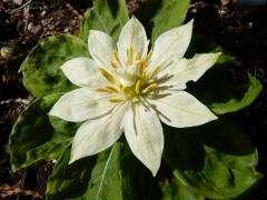 Claim: White flower has world's longest genome