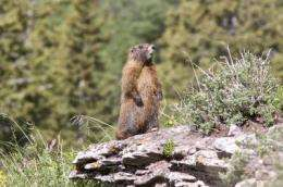 Climate change causes larger, more plentiful marmots, study shows