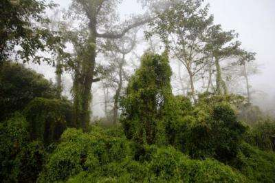 Climber vine plants (mikania micrantha) cover the trees in Chitwan National Park