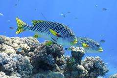 Isolation a threat to Great Barrier Reef fish