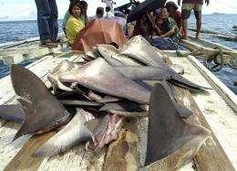 Fishermen transporting a load of harvested shark fins