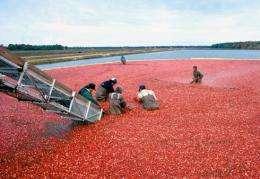 Floating cranberries are harvested in a flooded bog