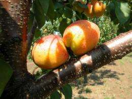 Genetic relationship between Hungarian and Turkish apricots confirmed