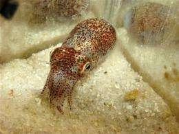 Glowing Squid Illuminate Immune System Function
