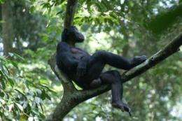 High social status, maternal support play important role in mating success of male bonobos