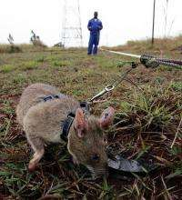 In all, it takes nine months of painstaking on- and off-field training for a rat to be deployed for mine detection