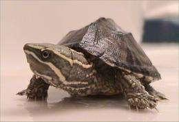 <i>Sternotherus odoratus</i> turtle