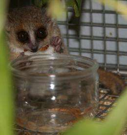 Lemurs lose weight with 'life-extending' supplement