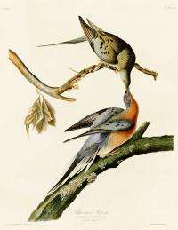 Long-extinct passenger pigeon finds a place in the family tree