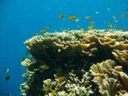 Marine Pied Piper leads Nemo astray