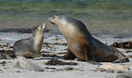 Memory of mum's voice remains strong for young sea lions