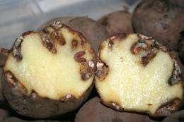 Moth larvae saliva boosts yield of Colombian spud