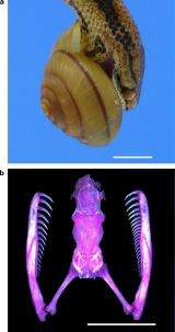 Snails with shells coiling to the left survive snake attacks (w/ Video)
