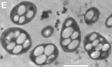 New life form found on Earth: Deadly arsenic breathes life into organisms (Update)